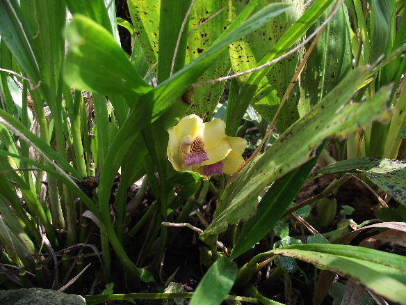 Bifrenaria harrisoniae (2)